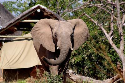 Wilde dieren, zoals olifanten, kunnen een bezoek brengen aan het Wild at Tuli reservaat
