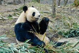 Ontmoet de beschermde reuzenpanda tijdens deze groepsreis met vrijwilligerswerk naar China.