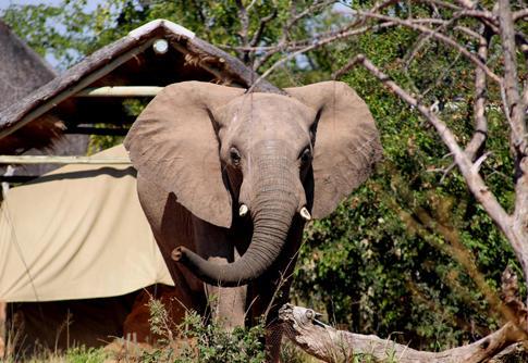 Olifant loopt vlakbij het verblijf van het natuurbehoud project in Zuid-Afrika
