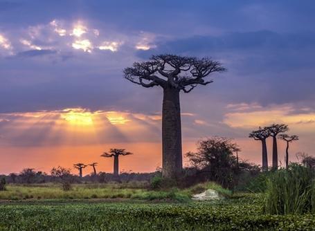 Op Madagaskar komen 6 van de in totaal 8 bekende soorten Baobab bomen voor