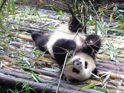 Als vrijwilliger in China kun je helpen bij de verzorging van de bedreigde reuzenpanda.
