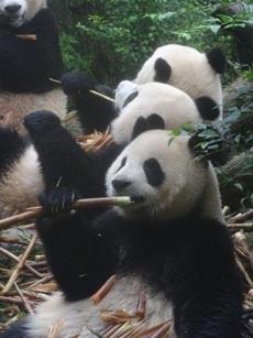 Panda's bij het dierverzorginsproject in Chengdu