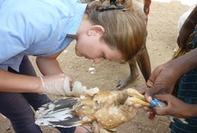 Vrijwilligerswerk in India: Diergeneeskunde & Dierenverzorging