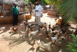 Een landbouw vrijwilliger help mee bij de dagelijkse taken op een boerderij in Togo.