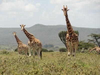 Giraffe op het natuurbehoudproject in Kenia