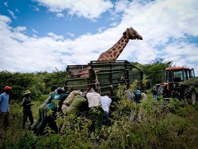 vrijwilligers helpen de giraffe in Kenia
