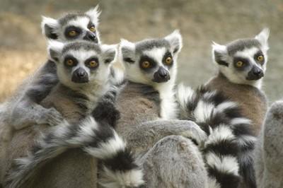 De Ringstaartmaki is één van de diersoorten die alleen op Madagaskar voorkomt
