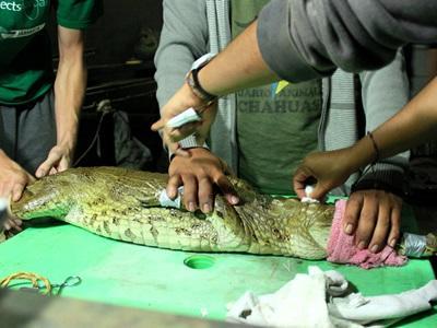 Vrijwilligers controleren de gezondheid van een baby krokodil