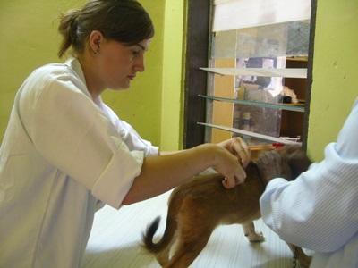 Vrijwilligerswerk dierenarts in Samoa