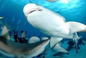 Een groep vrijwilligers doet een onderzoeksduik in Fiji en verkrijgt data over haaien.